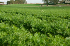 Field of carrot. A picture of the growing carrot in the field royalty free stock photos