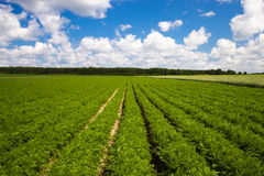 Field of carrots. Agricultural field, where the rows of carrots grown Royalty Free Stock Photo