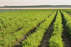 Field of carrots Stock Photography
