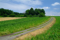 Field cart road. A field cart road through a maizefield and trees in the background royalty free stock images