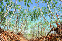 Field of cassava background Stock Image