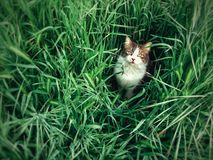 Field Cat. This guy loves the tall grass Royalty Free Stock Photography