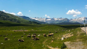 Field from Catalonian Pyrenees. Great view of Catalonian Pyrenees with cows Royalty Free Stock Image