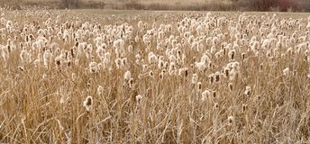Field of Cattails. Going to seed royalty free stock photography