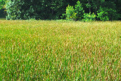 Field of cattails by forest Stock Photography
