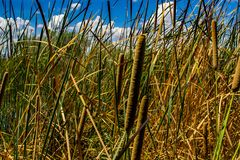 Field of cattails under a cloudy blue sky royalty free stock photos