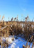 a field of cattails in the winter royalty free stock photo