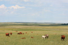 Field of Cattle Royalty Free Stock Photography
