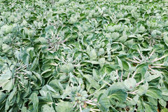 Field with Cauliflower plants Stock Photo