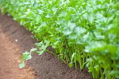 A Field Of Celery Stock Photography
