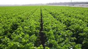 Agricultural field of celery plants. Organic, gardening, vegetables. Field of celery plants. Celery plants in a row, harvest, close up of celery plants stock footage