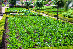 A field of celery plants, tidy ordered in squares. In Villandry gardens Royalty Free Stock Photo