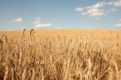 Field of cereal stock images