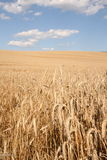 Field of cereal stock photography