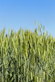 Field with cereal. Agricultural field on which grow immature cereals, wheat Royalty Free Stock Images
