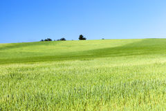 Field with cereal Royalty Free Stock Photo