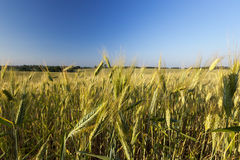 Field with cereal Royalty Free Stock Photography