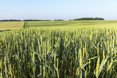 Field with cereal Royalty Free Stock Images