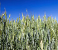 Field with cereal Stock Image