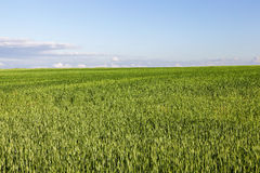 Field with cereal Stock Photos