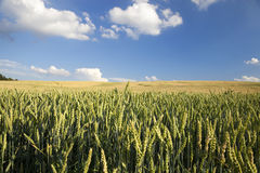 Field with cereal Royalty Free Stock Photos