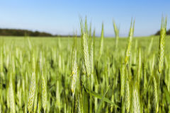Field with cereal Stock Photo