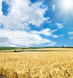 Field of cereal wheat Royalty Free Stock Photos