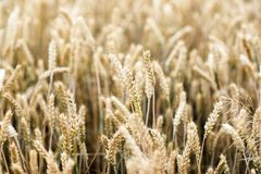 A field with cereals.A field with cereals. A field with cereals.A field with cereals royalty free stock images