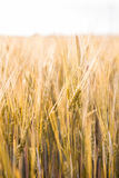 Field of cereals Royalty Free Stock Photos