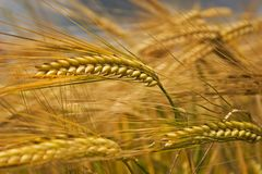 Field of cereals Stock Photography