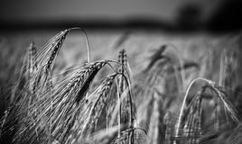 Field of cereals. Black and white photo of cereals on the field Royalty Free Stock Photo