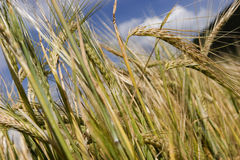Field of cereals Stock Image