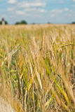 Field of cereals. Royalty Free Stock Images