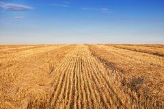 Field after harvesting. The field of cereals after harvesting on a clear sunny evening Royalty Free Stock Photography