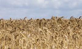Field of Cereals Royalty Free Stock Image