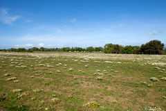 Field With Chamomile Stock Photography