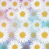 Field of chamomile and chrysanthemum. Field of white daisies and chrysanthemums Royalty Free Stock Image