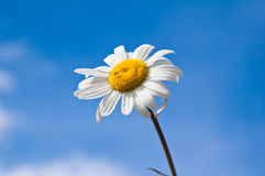 Field chamomile flower Royalty Free Stock Photo