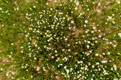 Field of chamomile flowers Royalty Free Stock Photos
