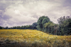 Field with chamomile flowers in cloudy weather Royalty Free Stock Images