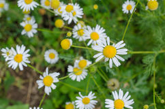 Field Chamomile flowers Stock Image