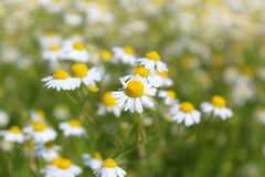 Field with chamomile plants & x28;Matricaria chamomilla& x29; in flower Royalty Free Stock Images