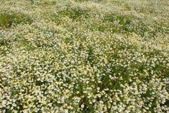 Field with chamomile plants Matricaria chamomilla in flower Stock Photo