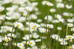 Field of chamomile in spring, medicinal flower. Stock Photos