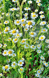 Field with chamomile Royalty Free Stock Photos