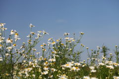 Field of chamomiles Royalty Free Stock Photography