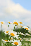 Field of chamomiles. Royalty Free Stock Photos