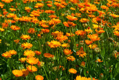 Field of chamomiles background Stock Image