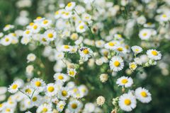 Field chamomiles flowers closeup royalty free stock photography