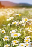 Field of chamomiles flowers in the nature Stock Photo